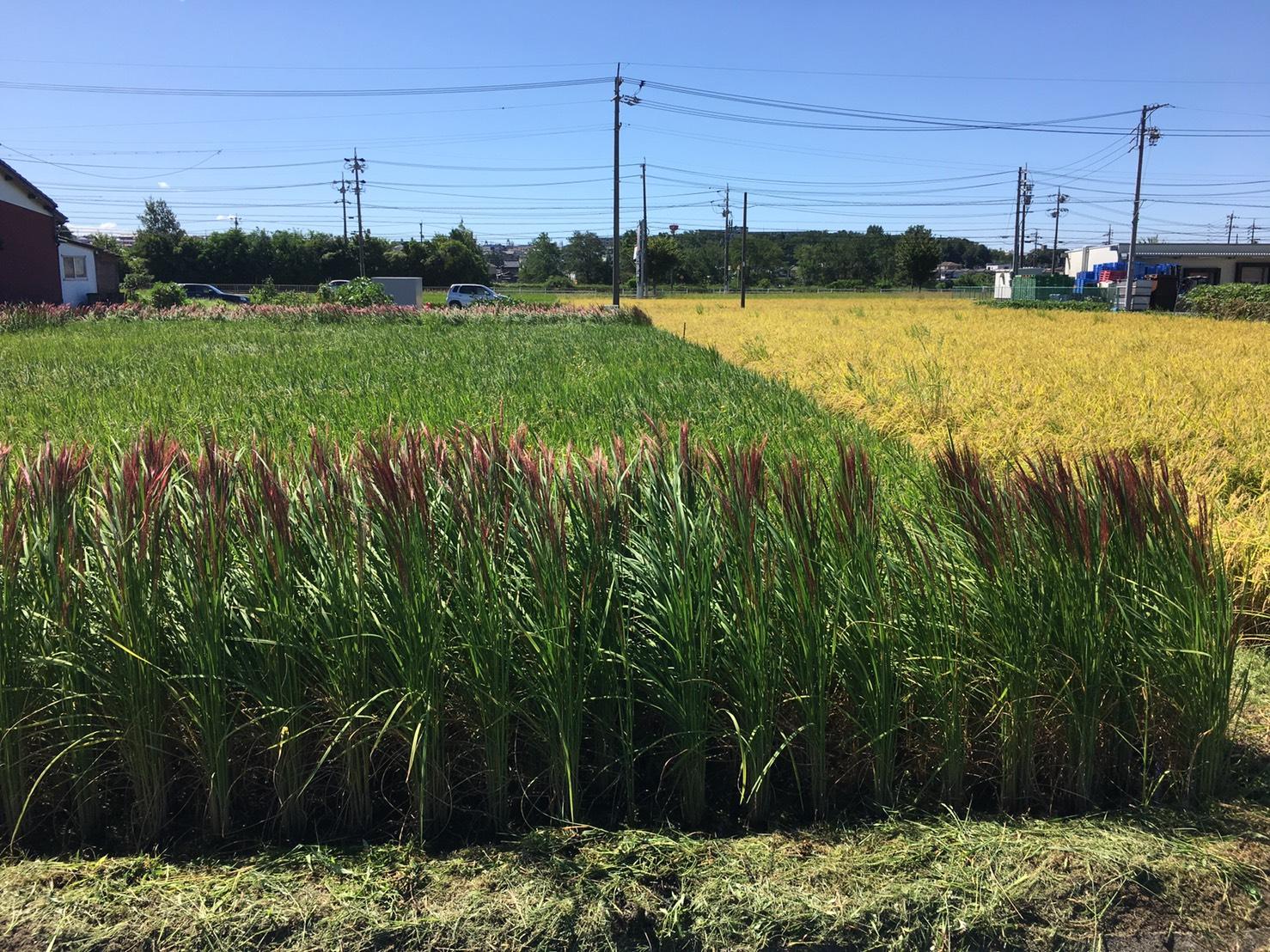 まえまえクラブ:もち米と赤米の状況(尾張旭市)